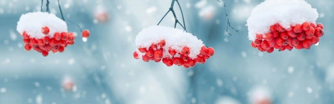 snow on berries 1379880 1280 1